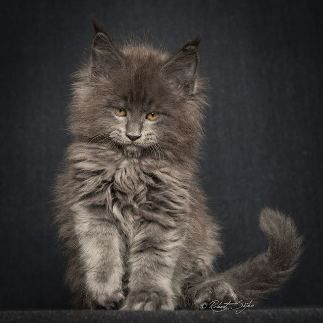 MaineCoons-16